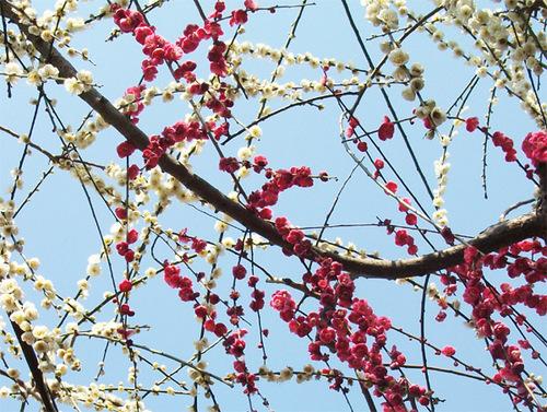 梅の花がきれい.jpg